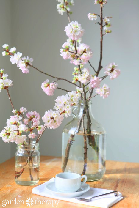 cherry-blossoms-are-so-easy-to-force-indoors-from-how-to-force-spring-blanches-to-bloom-indoors
